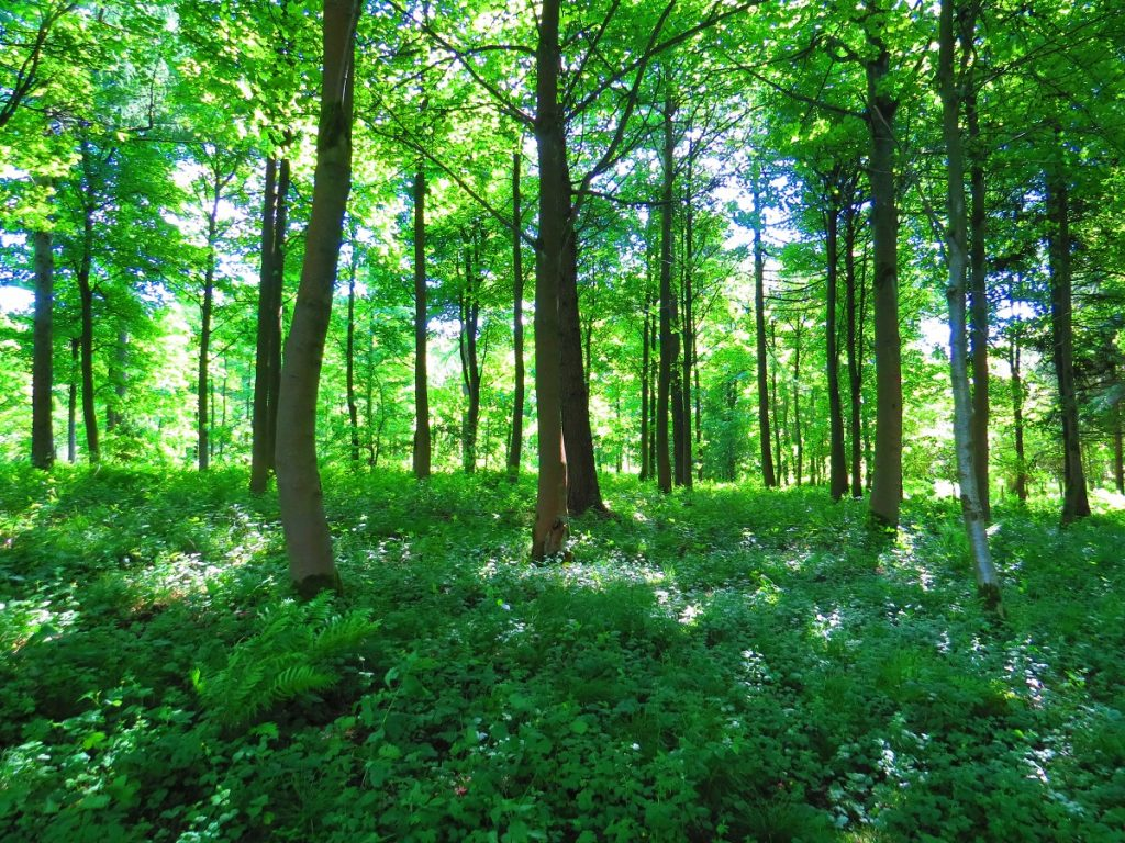 The ancient Sherwood Pines in Nottinghamshire