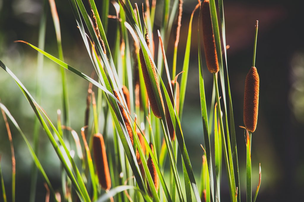 A patch of cattail shoots