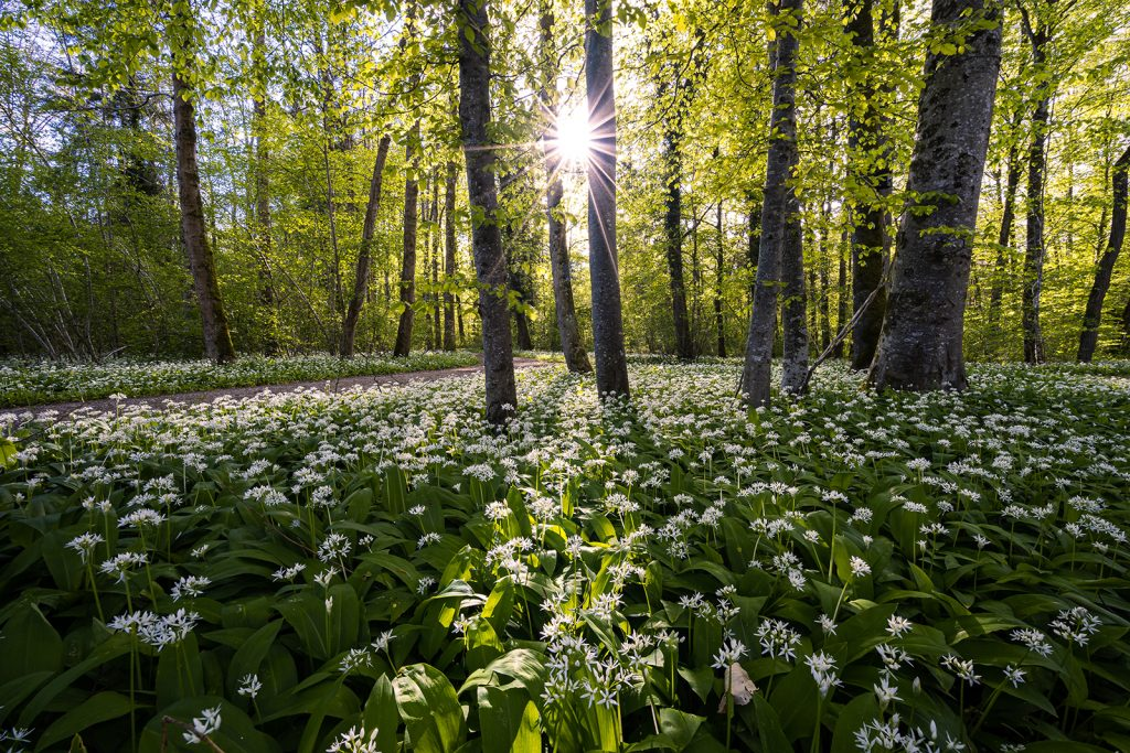 A forest meadow of wild garlic